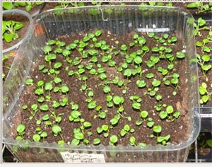 Посев петунии на рассаду — проверенные способы и хитрости цветоводов.