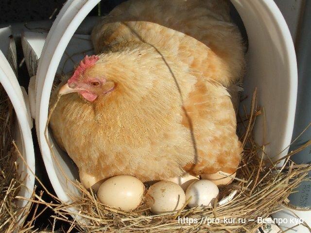 Курица села на яйца: что делать дальше?