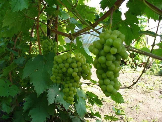 Как подвязать виноград на шпалеру — ягоды грибы