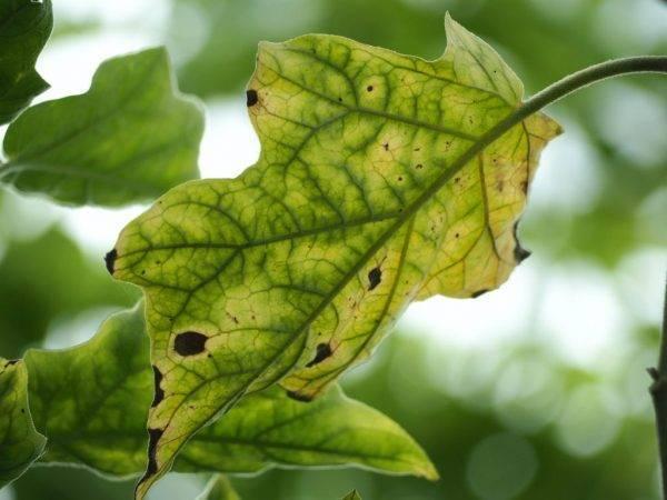 Что делать, если на листьях рассады баклажан появились белые сухие пятна?
