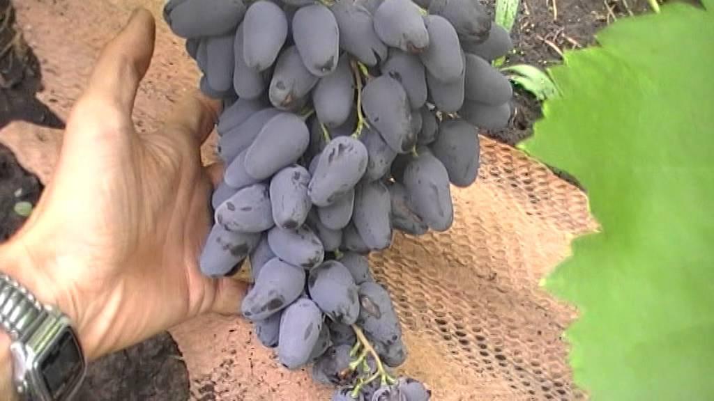 Виноград памяти негруля: описание сорта