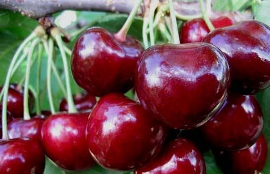 Особенности выращивания и ухода за черешней сорта чермашная