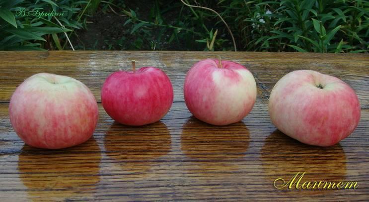 Яблоня «мантет»: описание сорта и его преимущества