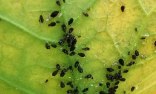 Белые мошки на помидорах, как избавиться. белокрылка на помидорах в теплице: методы борьбы, как избавиться