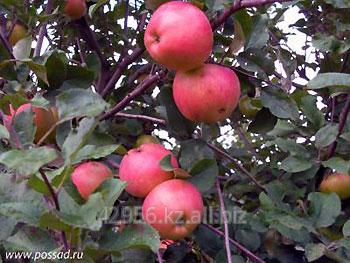 Лучшие и урожайные сорта осенних яблок: описание и выращивание