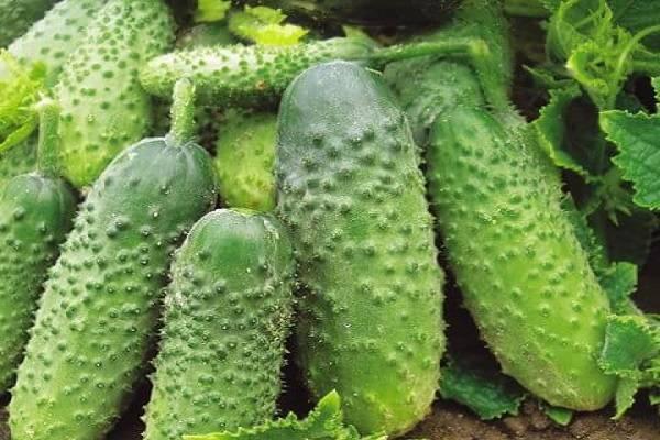 Огурцы сорта дружная семейка f1 — маленькие пикули и большой урожай