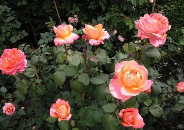 Чайно-гибридная роза версилия - описание сорта, фото и особенности агротехники | о розе