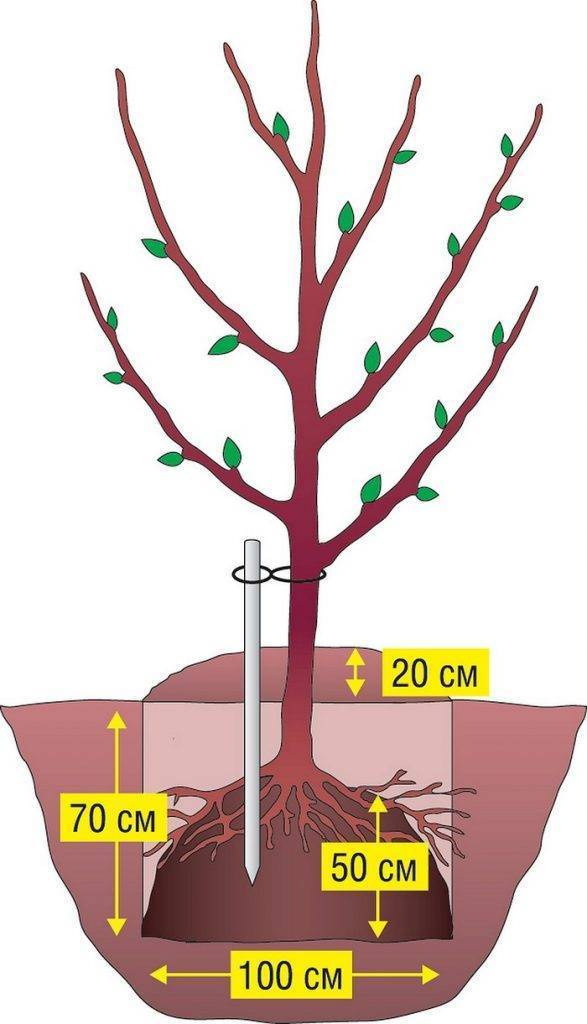 Как правильно посадить яблоню весной Ленинградской области, выращивание и уход