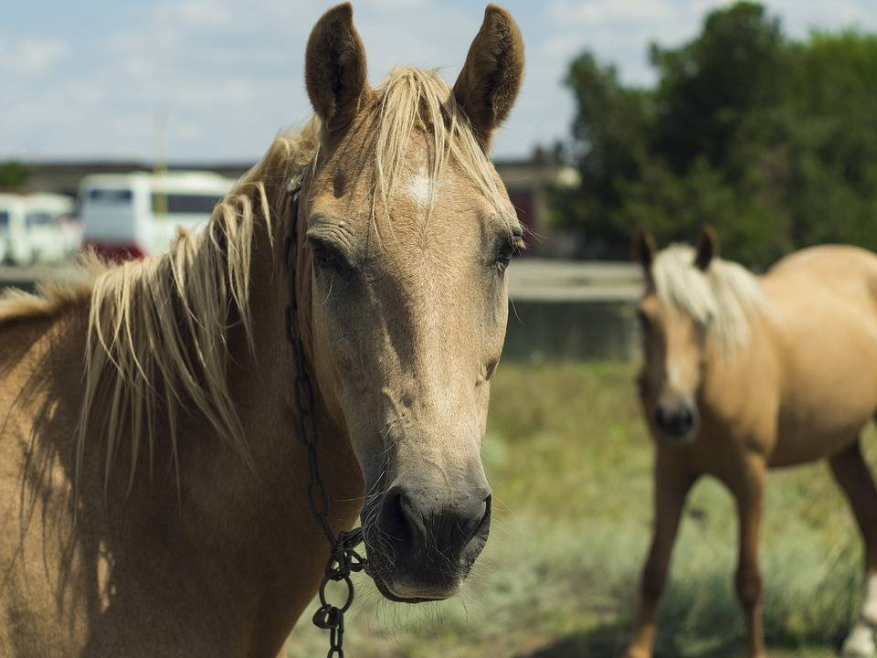 Случная болезнь лошадей