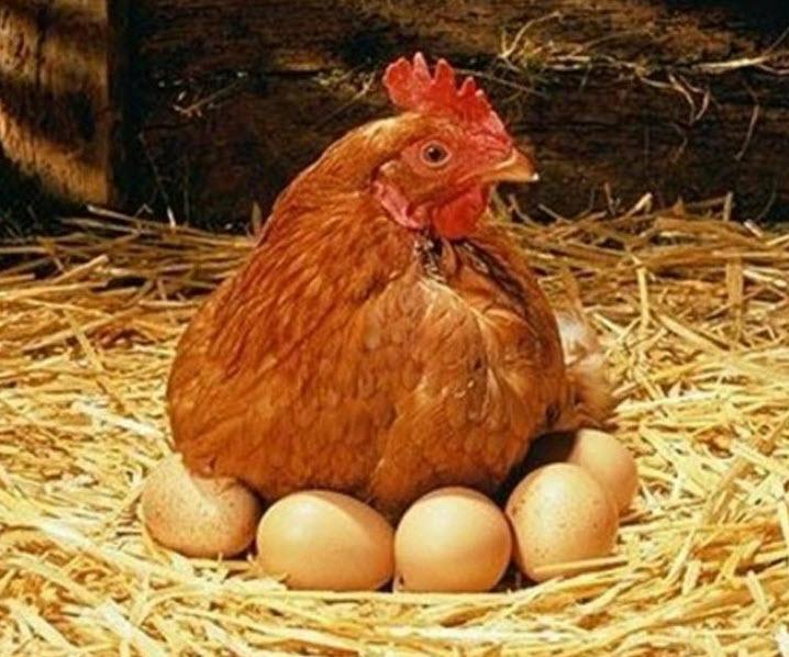 Куры ломан браун — продуктивные птицы, несущие крупные яйца. советы по содержанию