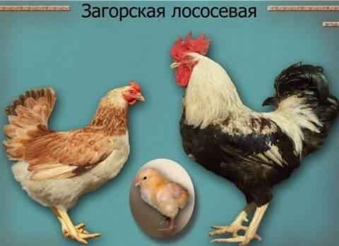 Загорская лососевая порода кур: описание, характеристики и отзывы