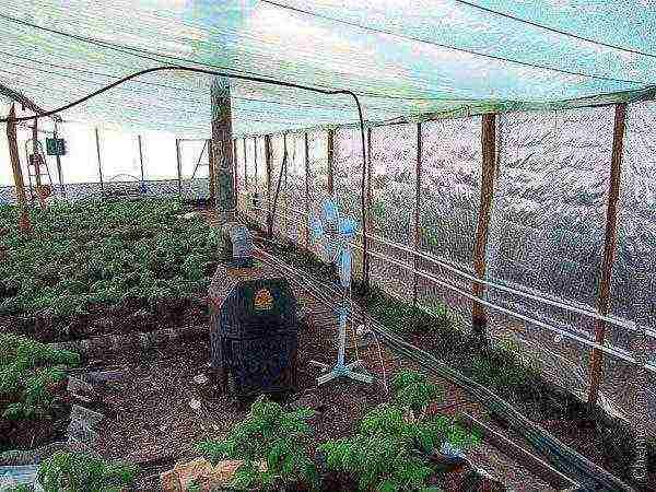 Выращивание редиса в теплице: как правильно сажать, в том числе и зимой на продажу, подготовка семян перед посевом, как часто поливать, а также уход за овощем