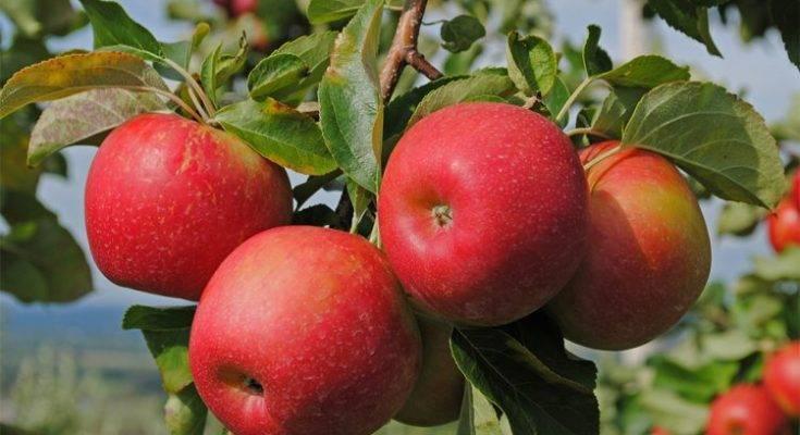 Особенности посадки и ухода за яблоней сорта апорт