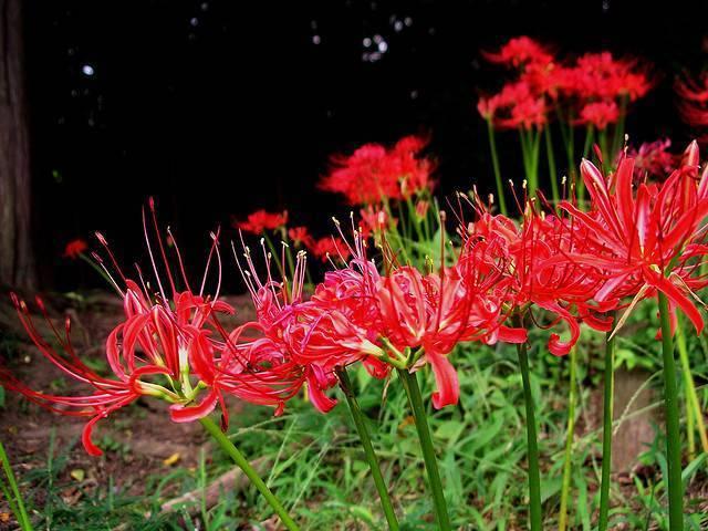Ликорис: загадочный цветок смерти или простая паучья лилия?