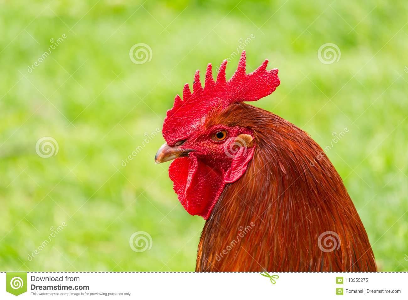 Как выглядит петух: это птица или нет, самые красивые цвета