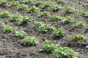Настоящее достижение селекционеров – сорт картофеля «серпанок»: описание, характеристики и фото