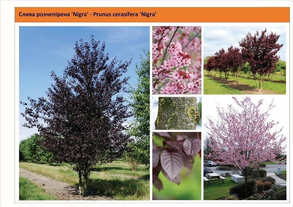 Дерево алыча: посадка и уход, фото, обрезка, прививка, описание сортов, болезни и вредители