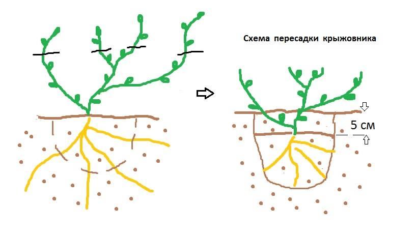 Пересадка крыжовника осенью: новое место для кустарника — пошагово (фото)