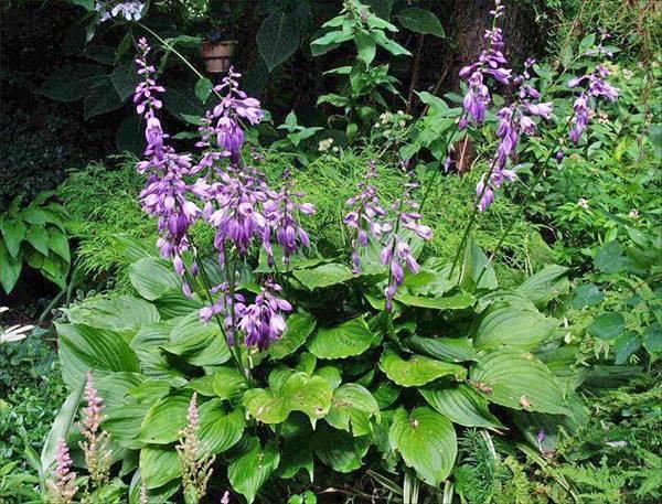Хоста: посадка и уход. особенности выращивания и размножения хосты