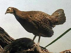 Дикие куры в природе: разновидности кур и их описание, фото