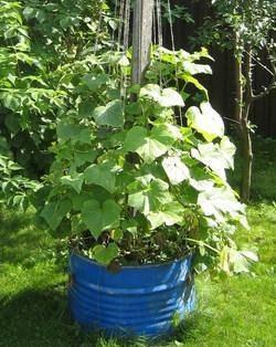 Как высаживать рассаду огурцов в теплицу: особенности и правила