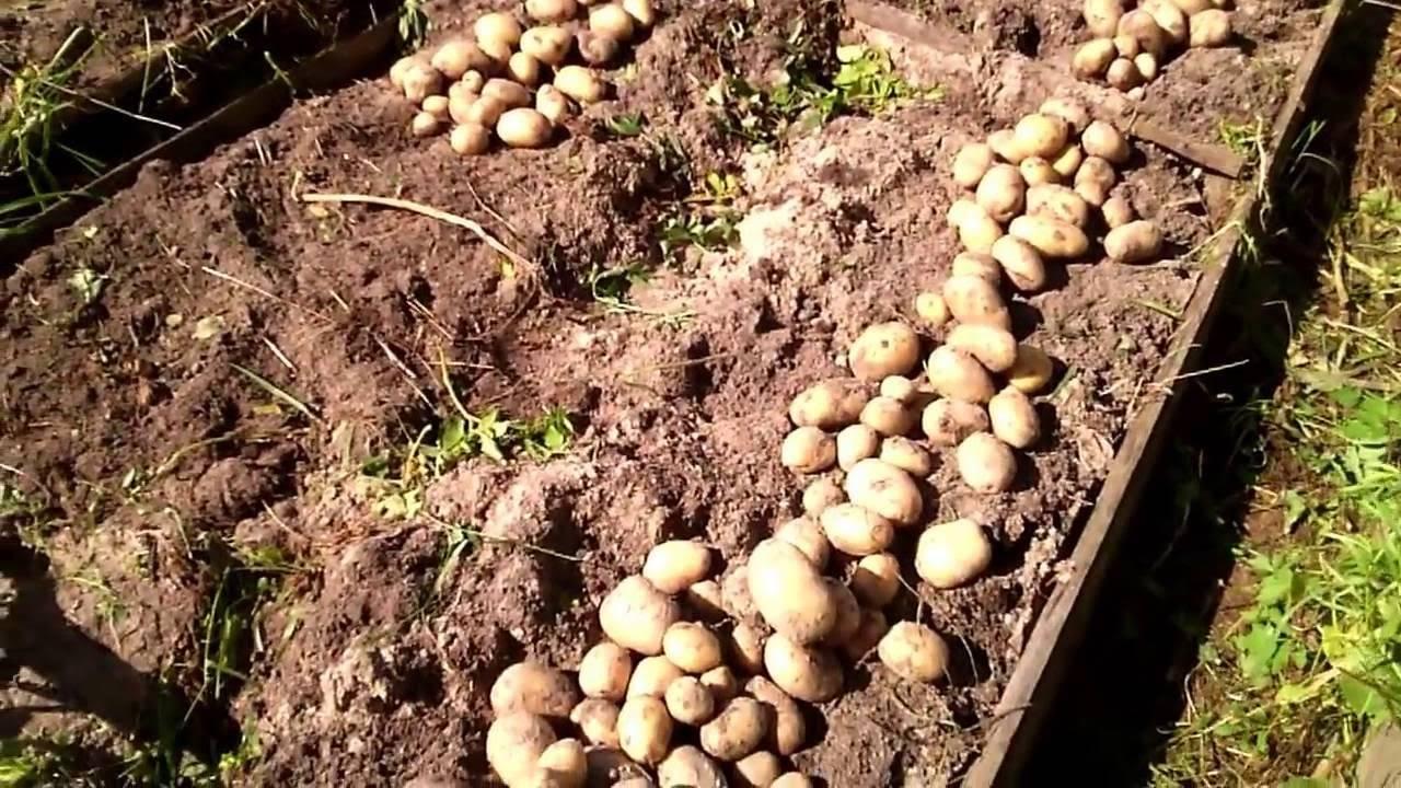 Лучшие сорта картофеля на 2020 год: самые высокоурожайные для регионов россии, украины и белоруссии