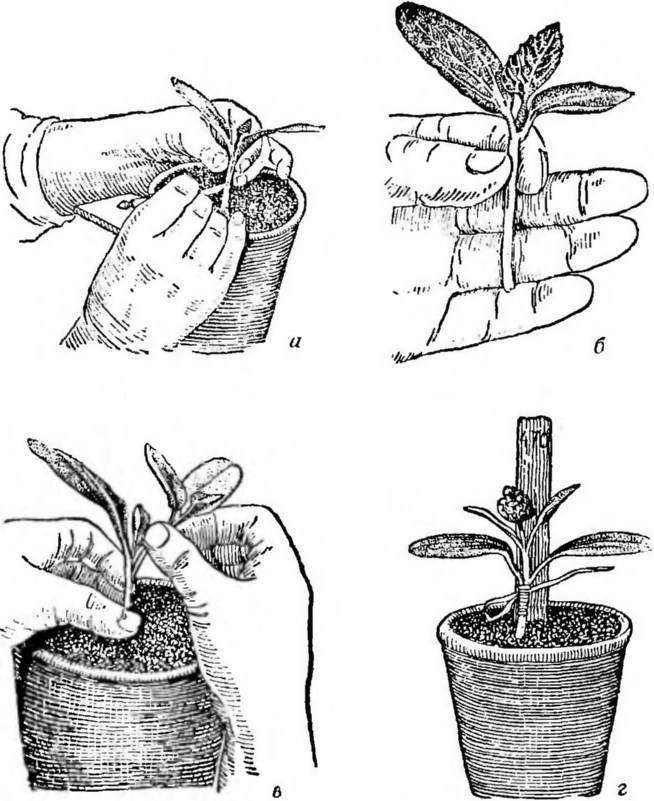 Схемы и тонкости прививки арбуза на тыкву