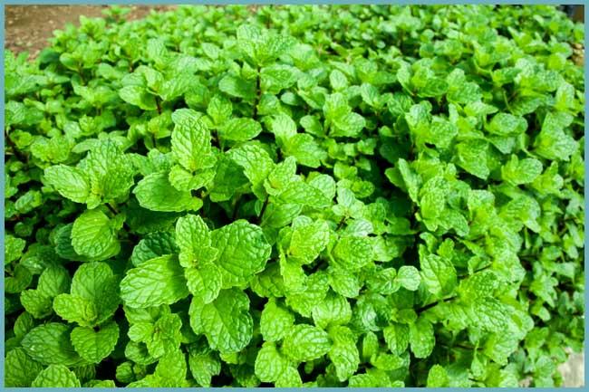 Как посадить, вырастить и ухаживать за мятой из семян в открытом грунте на даче.