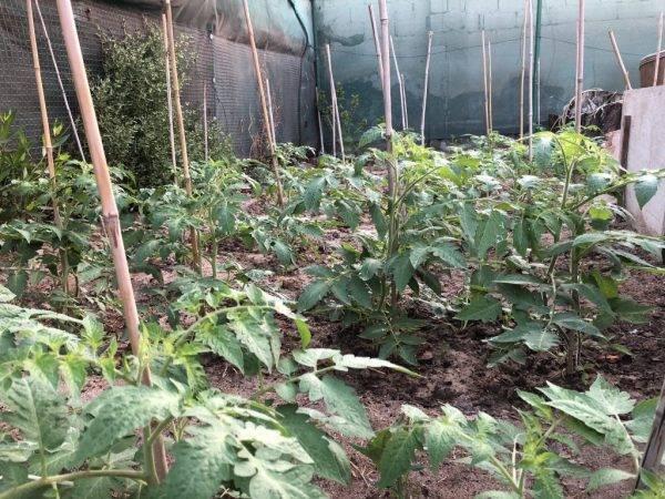 Подкормка рассады томатов и перца народными средствами: лучшие рецепты, способы приготовления и советы по применению (110 фото + видео)