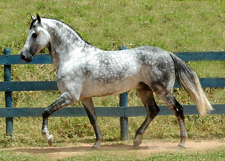 О чалой масти лошади: описание особенностей и характеристик масти чалых коней