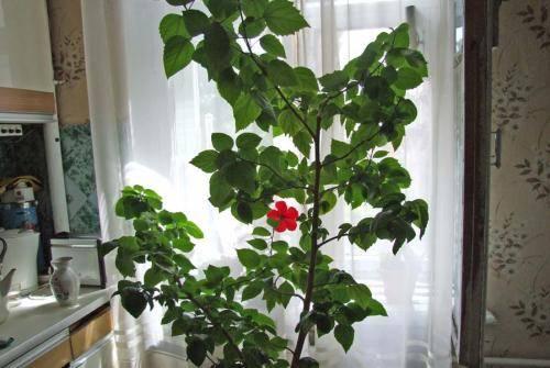 Виды китайской розы: фото и описание разных сортов гибискуса