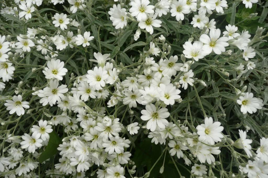 Почвопокровные многолетники: виды растений и правила выращивания
