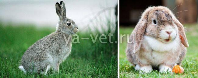 Как распознать и вылечить глисты у кроликов