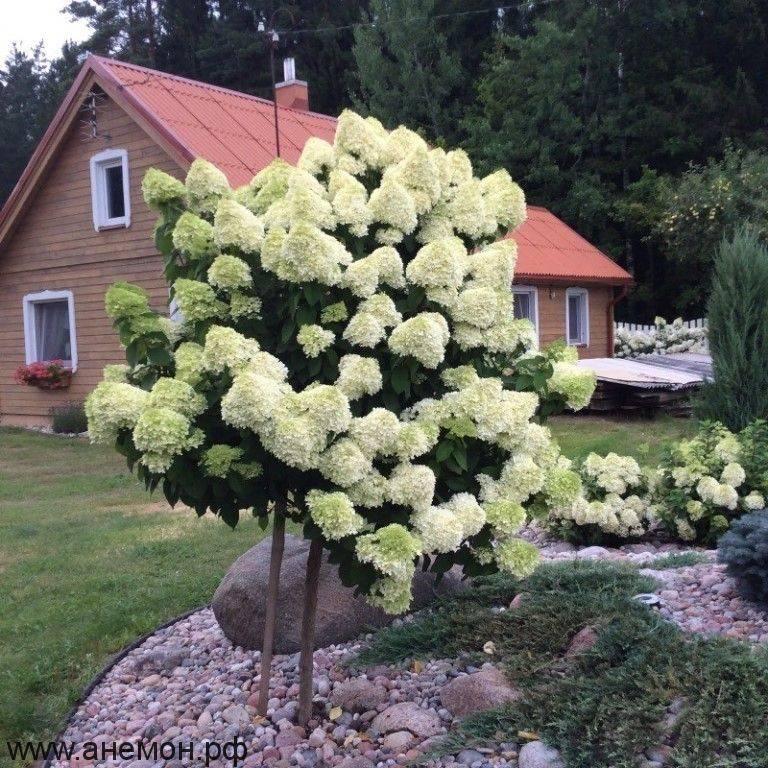 Посадка и уход за гортензией (38 фото): как ухаживать за гортензией в открытом грунте в саду? как правильно посадить и выращивать ее в домашних условиях?