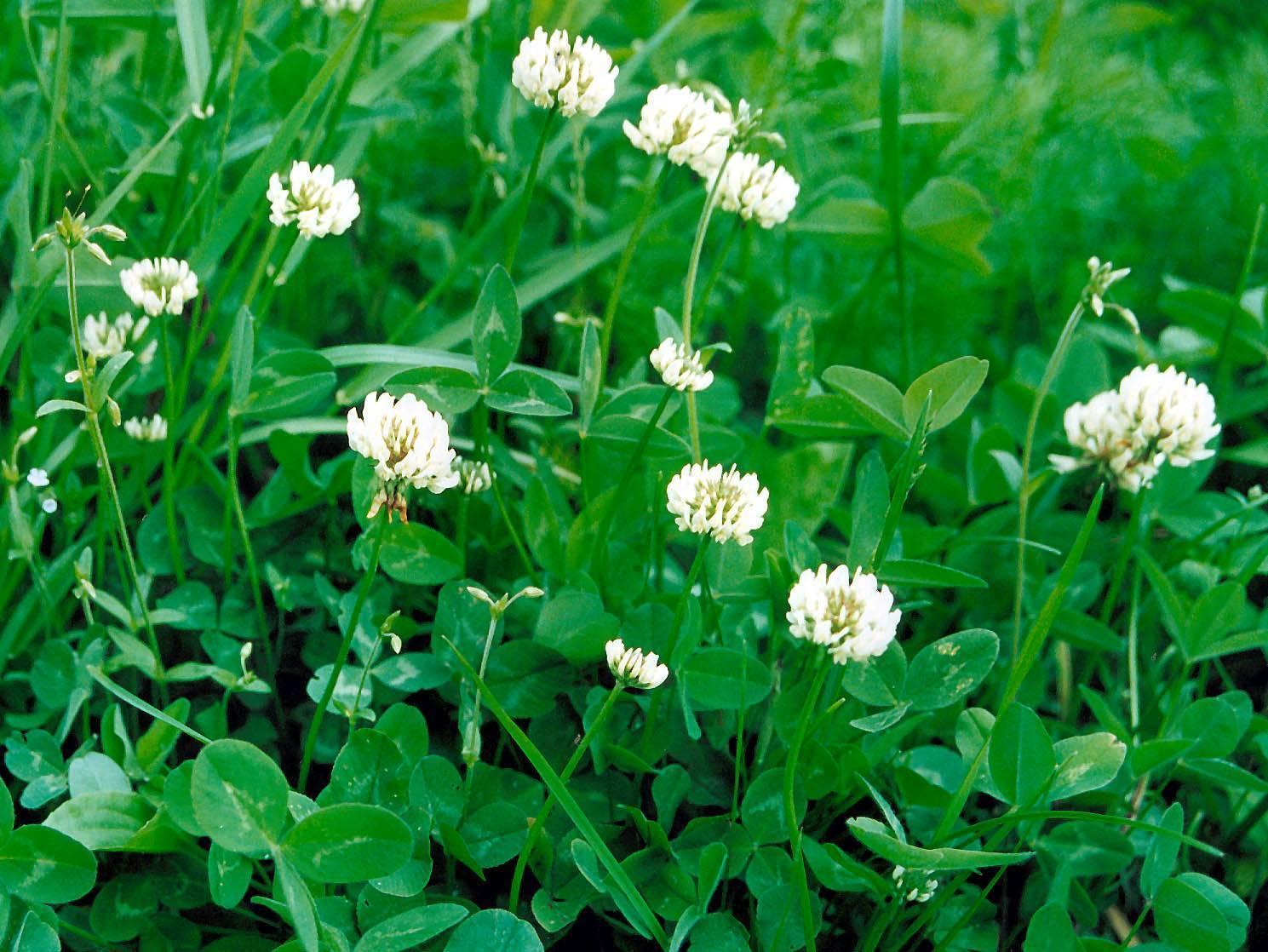 Клеверный газон: плюсы и минусы