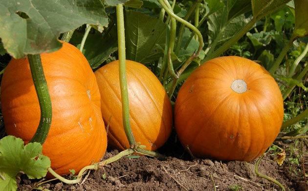 Выращивание тыквы — посадка, уход, полезные свойства