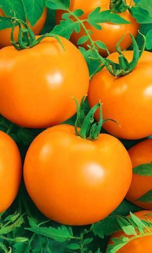Сибирский богатырь: крупноплодный томат алтайский шедевр