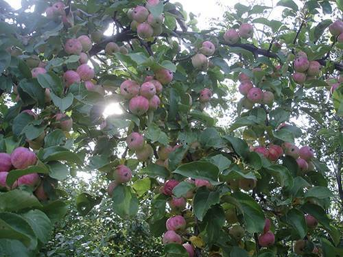 Колоновидные яблони — описание разновидностей