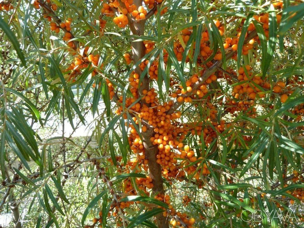 Облепиха: как вырастить дерево и чем полезны ягоды