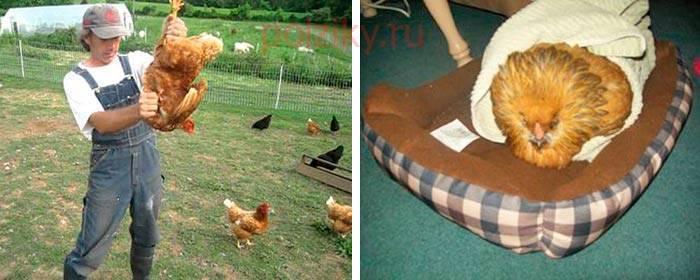 Отчего возникает закупорка зоба у кур и как её лечить?