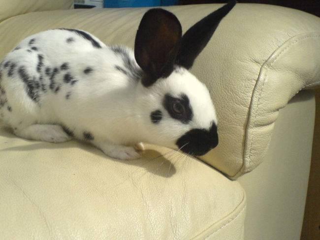 Кролики породы бабочка: характеристика и разведение