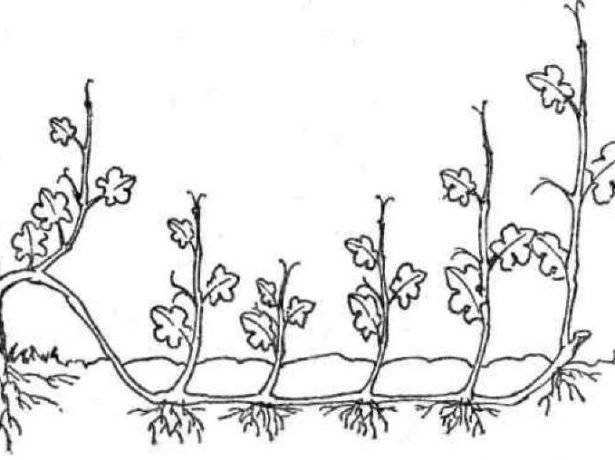 Как размножить виноград, лучшие способы, отводками, черенками, саженцами