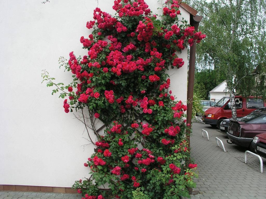 Плетистые розы группы рамблер