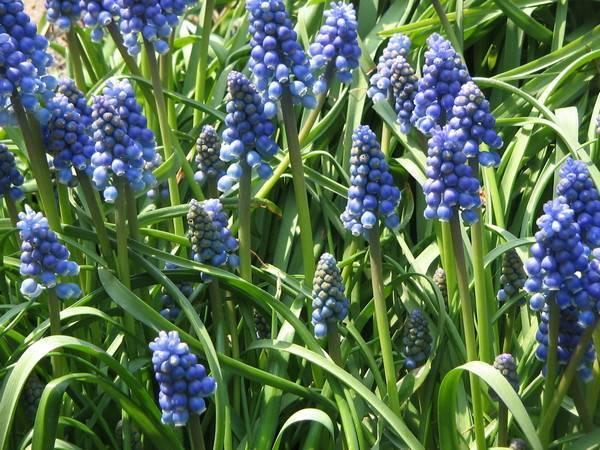 Комнатные мускари — весенние первоцветы в интерьере