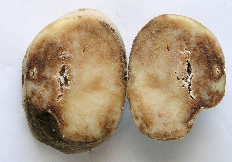 Описание и способы лечения заболеваний картофеля