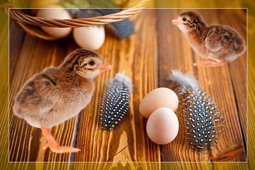 Правильная инкубация яиц цесарки: полезные советы
