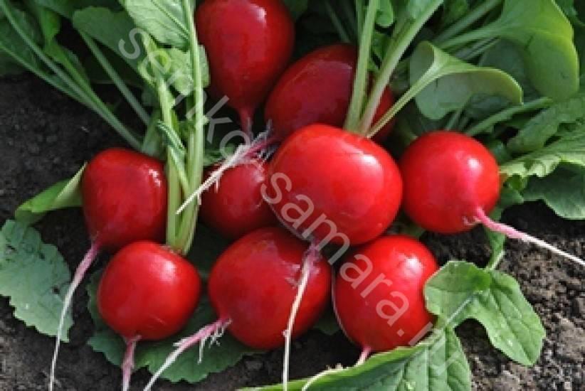 Семена редиса – лучшие сорта