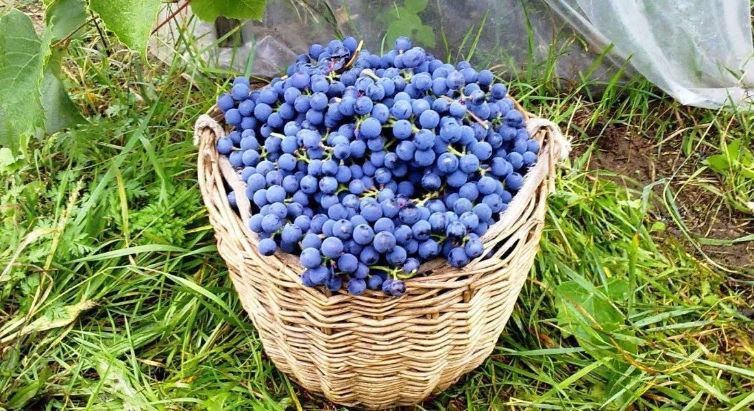 Подкормка винограда. как, когда и какие удобрения вносить