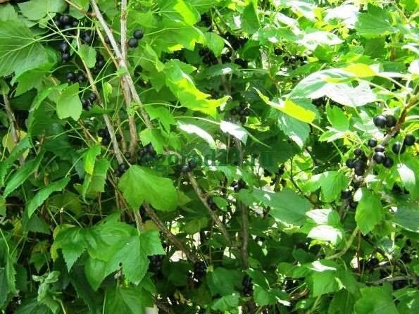 Черная смородина: посадка осенью. удобрения и подготовка почвы. как сажать черную смородину и ухаживать за ней