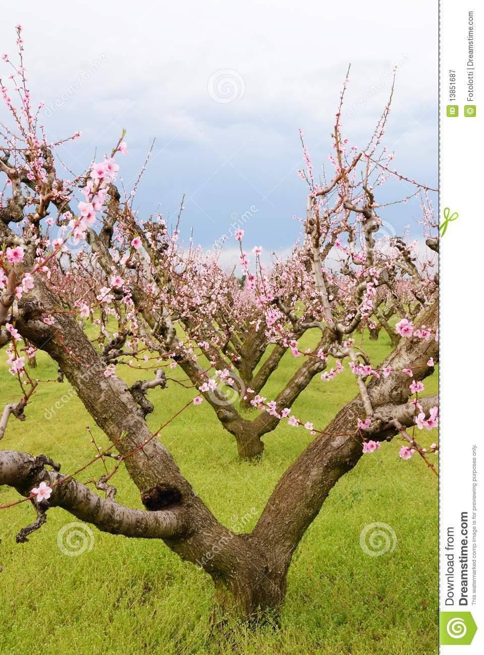 Персиковое дерево из косточки в домашних условиях